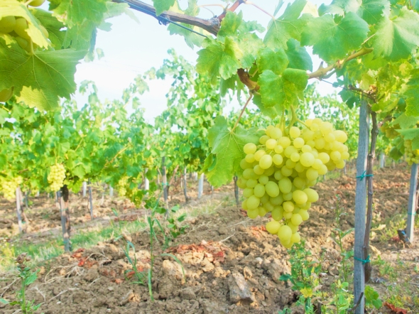 best romanian wines, visit the romanian vineyards, casa isarescu