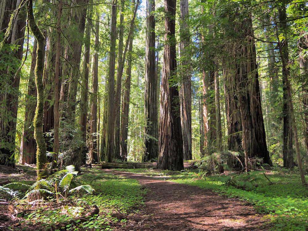 avenue of the giants, where to see ancient sequoia trees