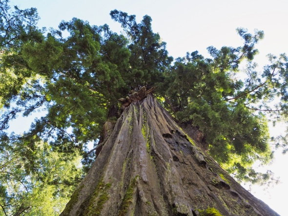 save the redwood league, avenue of the giants