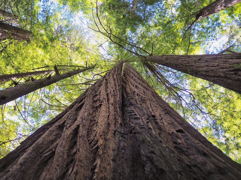 save the red woods, red woods north california, mendocino red wood forest